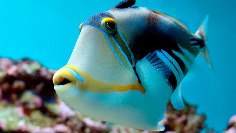 Muchos peces cambian su sexo de forma rutinaria en la edad adulta.