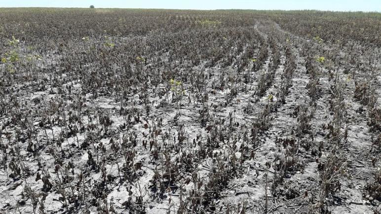 La sequía hizo estragos en la cosecha gruesa de la región.