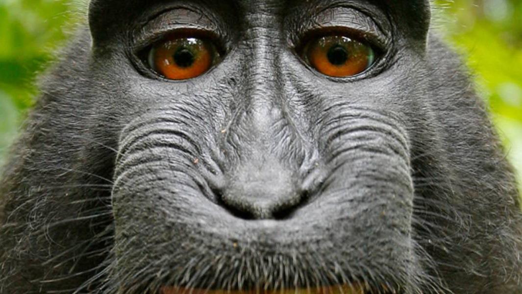 La del mono, una de las selfies más famosas.