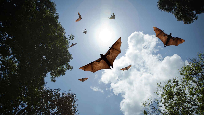 Los murciélagos pueden transformarse en transmisores.