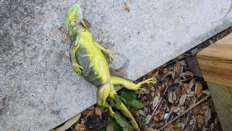 Los reptiles quedan petrificados y caen de los árboles