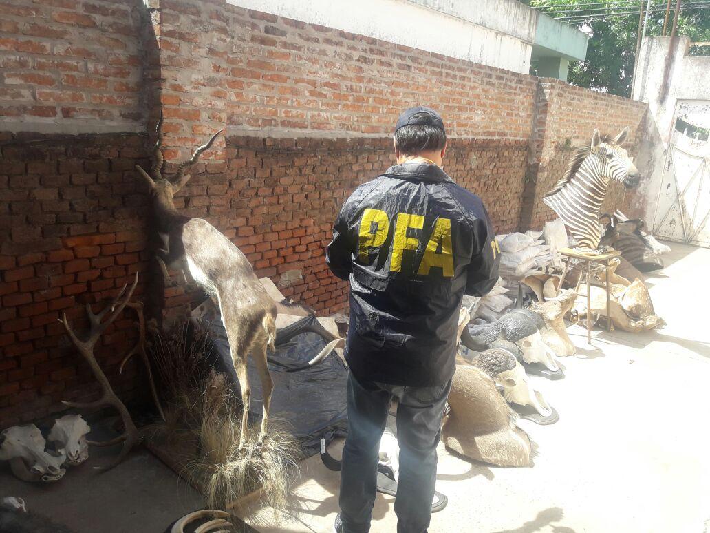 El allanamiento policial en el local de taxidermia.