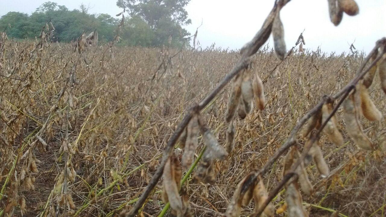 En varios sectores la soja se vio muy afectada.